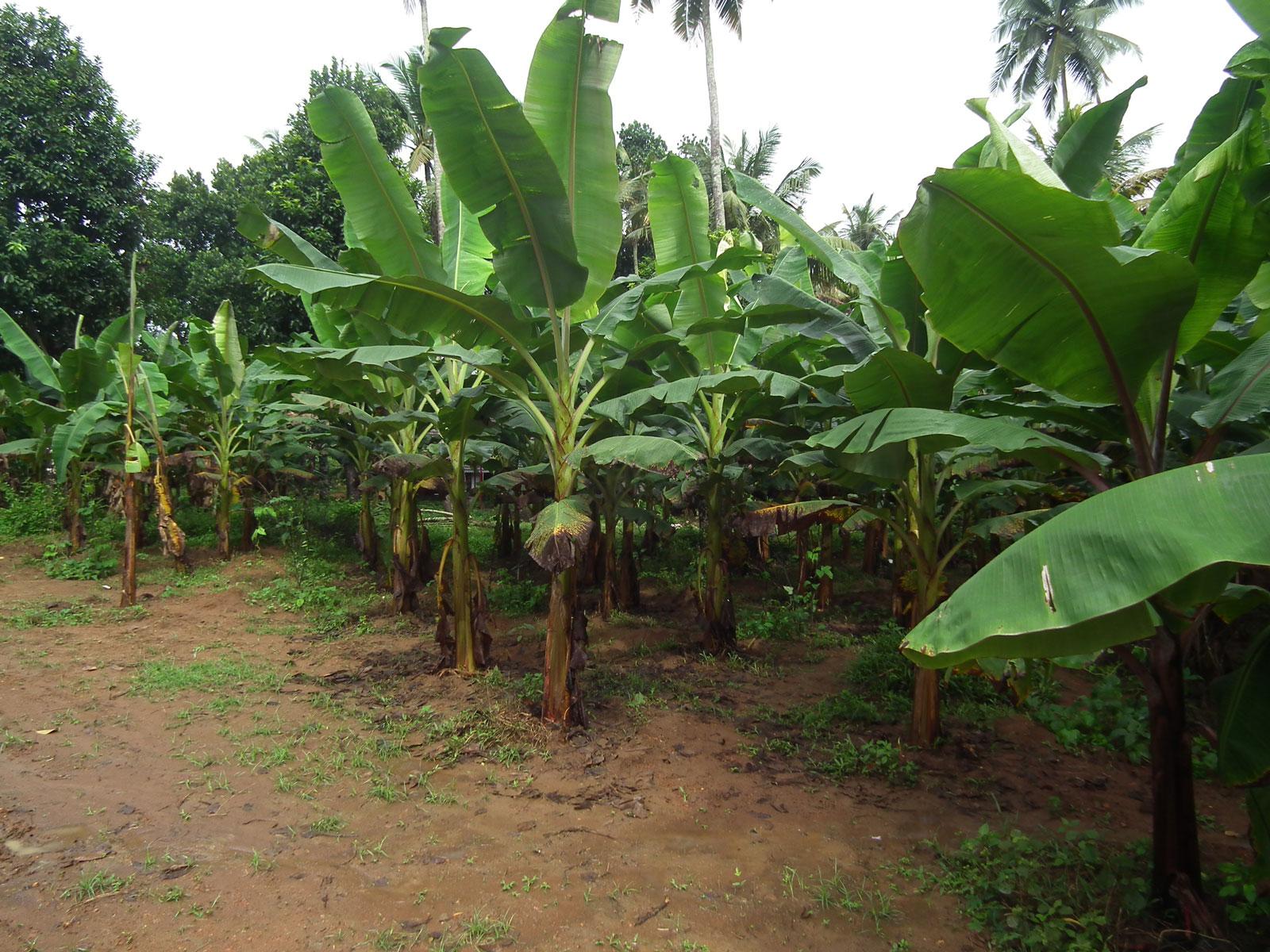 Banana tree from Kerala