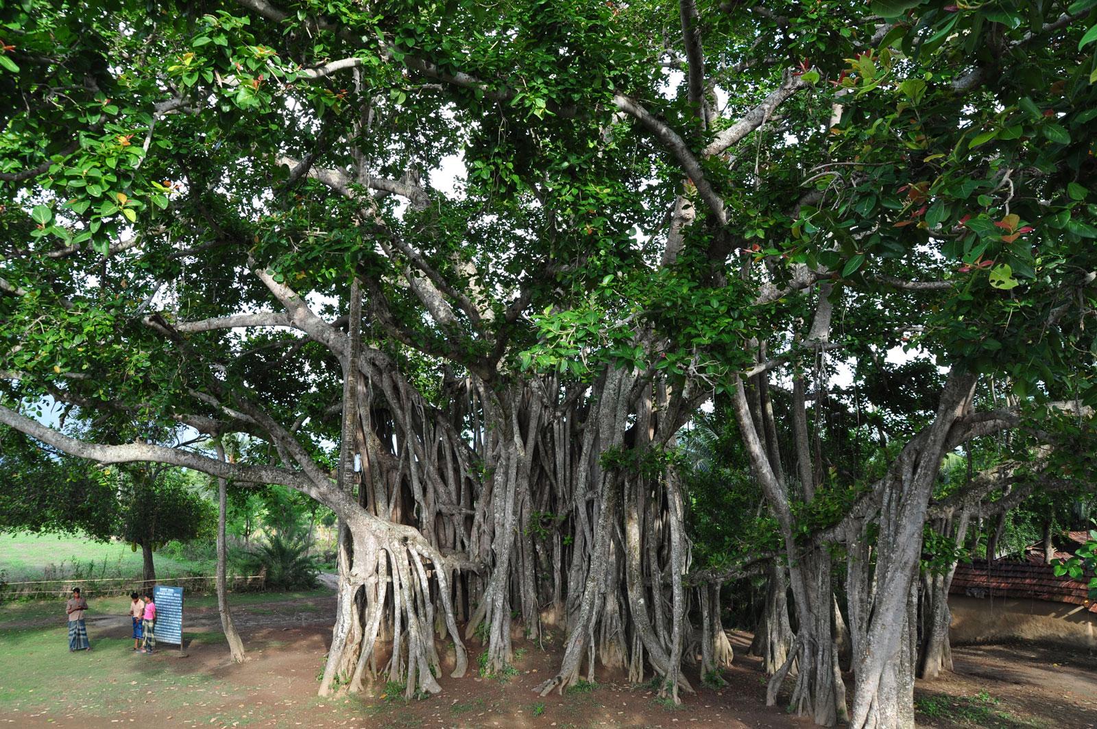 A banyan tree in Bangladesh